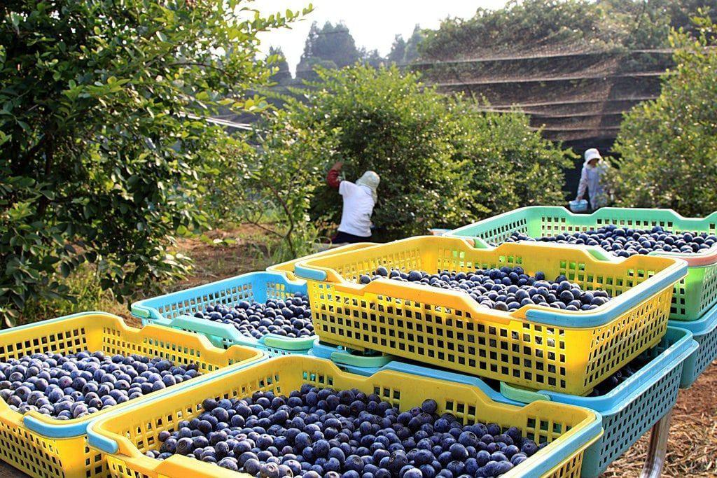 Bushels of blueberries