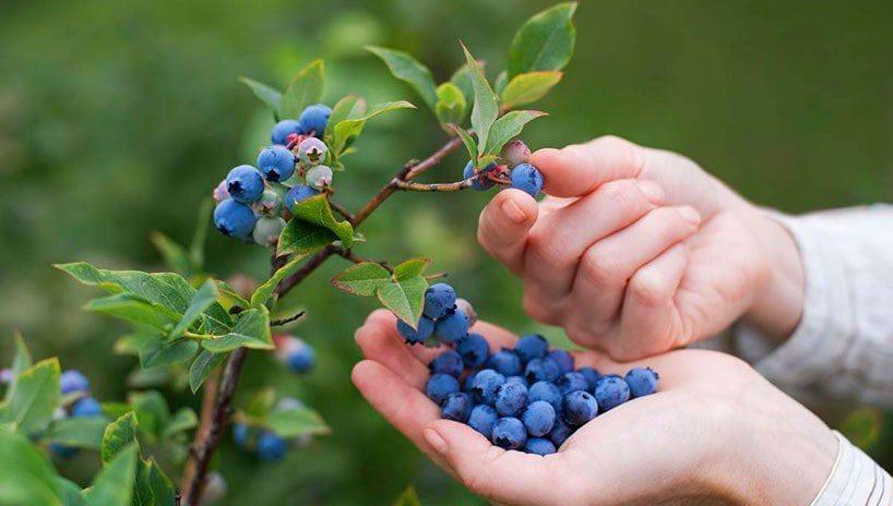 Blueberry Picking Near Me- U Pick Farms